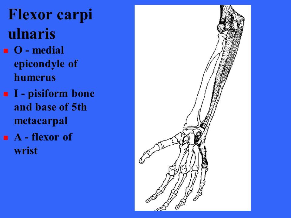 Flexor carpi ulnaris O - medial epicondyle of humerus I - pisiform bone and base of 5th metacarpal A - flexor of wrist
