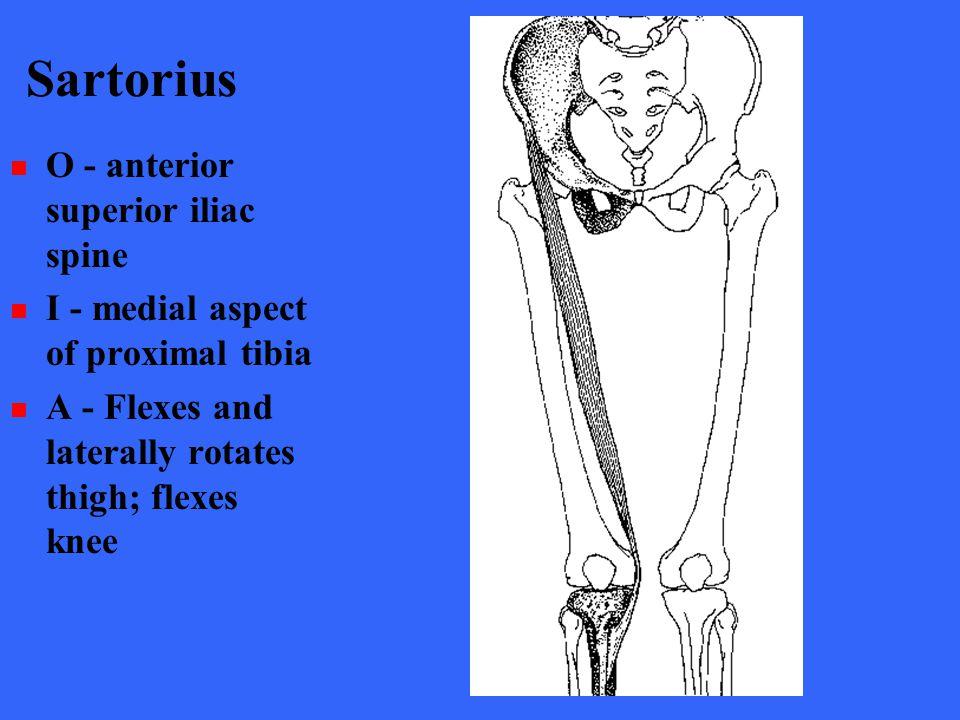 Sartorius O - anterior superior iliac spine I - medial aspect of proximal tibia A - Flexes and laterally rotates thigh; flexes knee