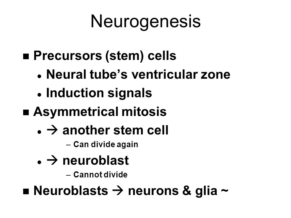 Neurogenesis n Precursors (stem) cells l Neural tube's ventricular zone l Induction signals n Asymmetrical mitosis l  another stem cell –Can divide again l  neuroblast –Cannot divide n Neuroblasts  neurons & glia ~