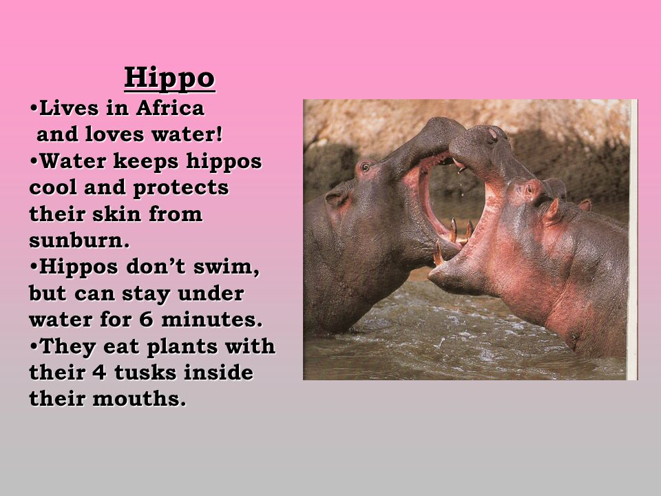 Hippo Hippo Lives in Africa Lives in Africa and loves water.