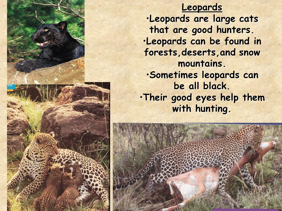 Leopards Leopards are large cats that are good hunters.Leopards are large cats that are good hunters.
