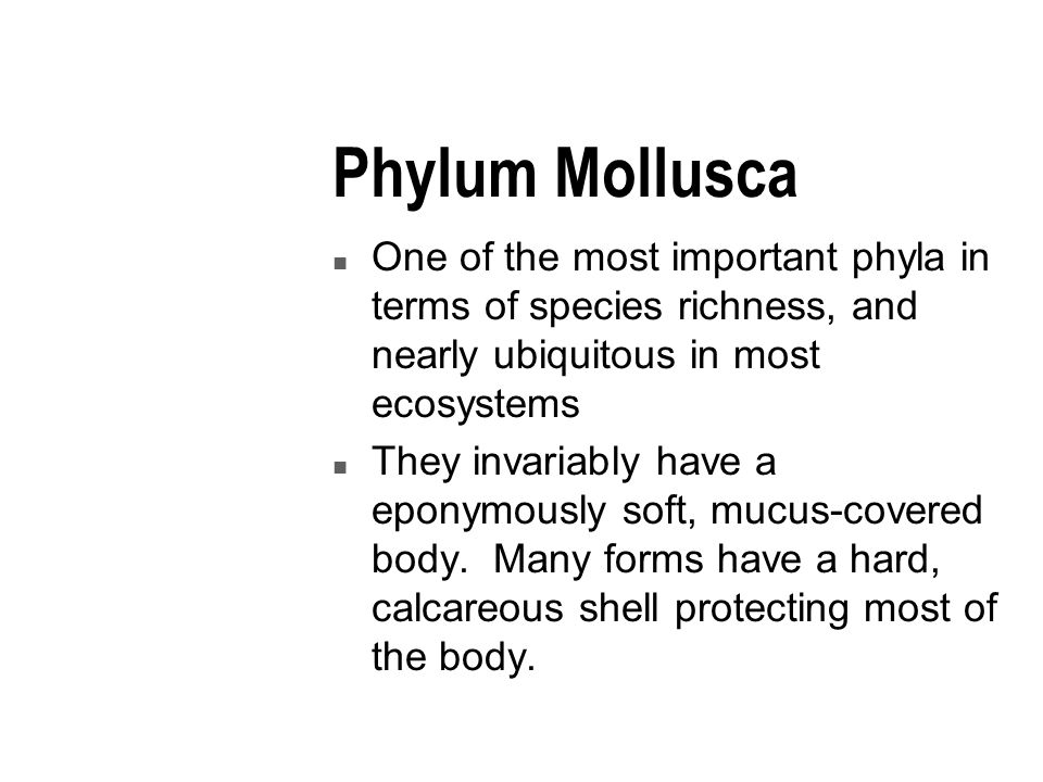Phylum Mollusca n One of the most important phyla in terms of species richness, and nearly ubiquitous in most ecosystems n They invariably have a eponymously soft, mucus-covered body.