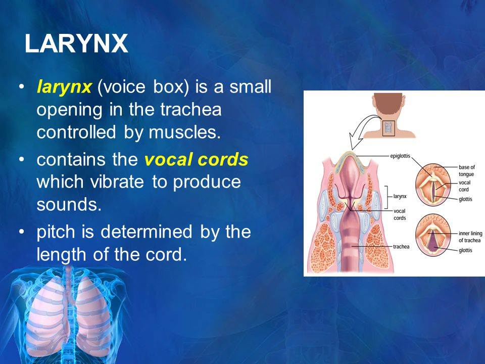 LARYNX larynx (voice box) is a small opening in the trachea controlled by muscles. contains the vocal cords which vibrate to produce sounds. pitch is
