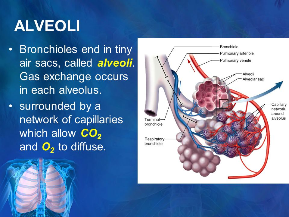 ALVEOLI Bronchioles end in tiny air sacs, called alveoli.