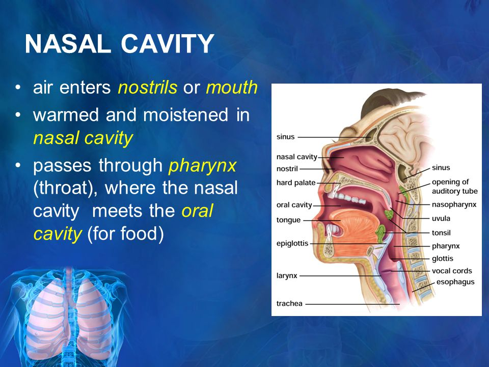 NASAL CAVITY air enters nostrils or mouth warmed and moistened in nasal cavity passes through pharynx (throat), where the nasal cavity meets the oral cavity (for food)