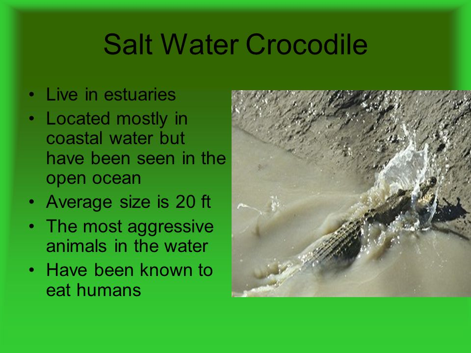 Salt Water Crocodile Live in estuaries Located mostly in coastal water but have been seen in the open ocean Average size is 20 ft The most aggressive animals in the water Have been known to eat humans