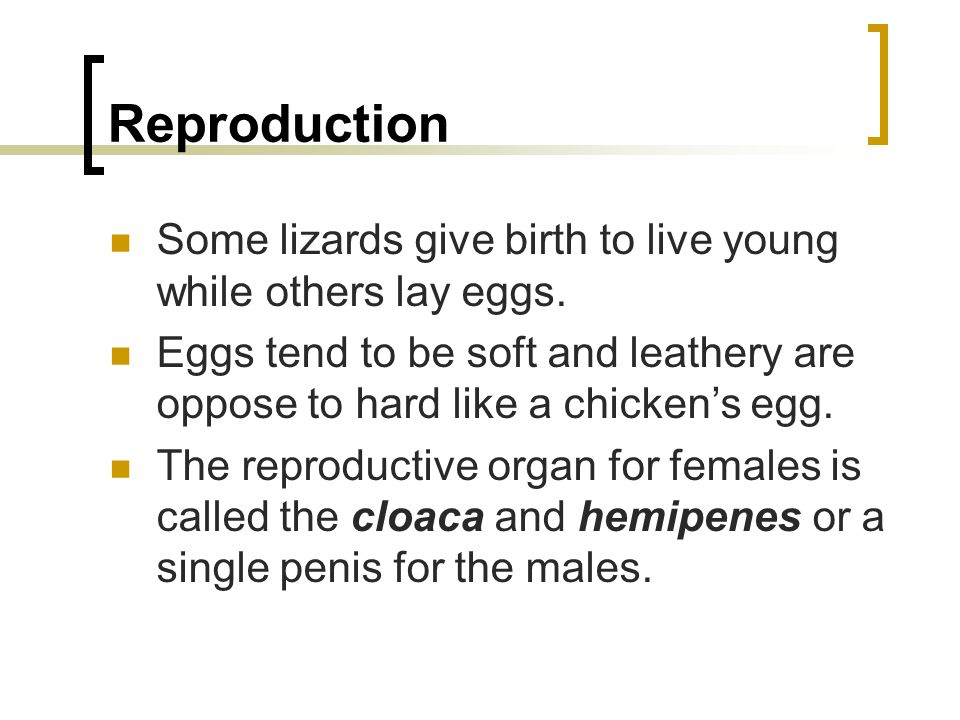 Reproduction Some lizards give birth to live young while others lay eggs. Eggs tend to be soft and leathery are oppose to hard like a chicken's egg. T