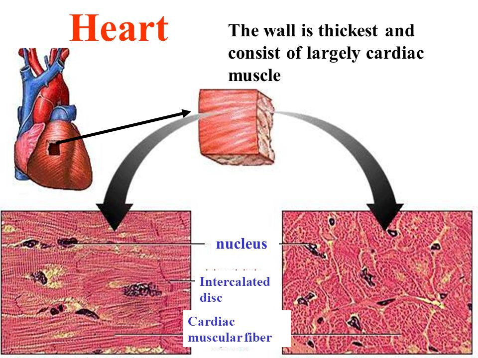 nucleus Intercalated disc Cardiac muscular fiber Heart The wall is thickest and consist of largely cardiac muscle
