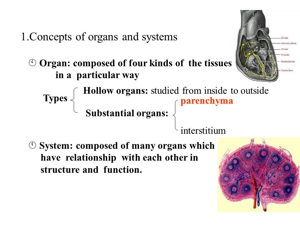 1.Concepts of organs and systems  Organ: composed of four kinds of the tissues in a particular way Types Hollow organs: studied from inside to outside Substantial organs:  System: composed of many organs which have relationship with each other in structure and function.
