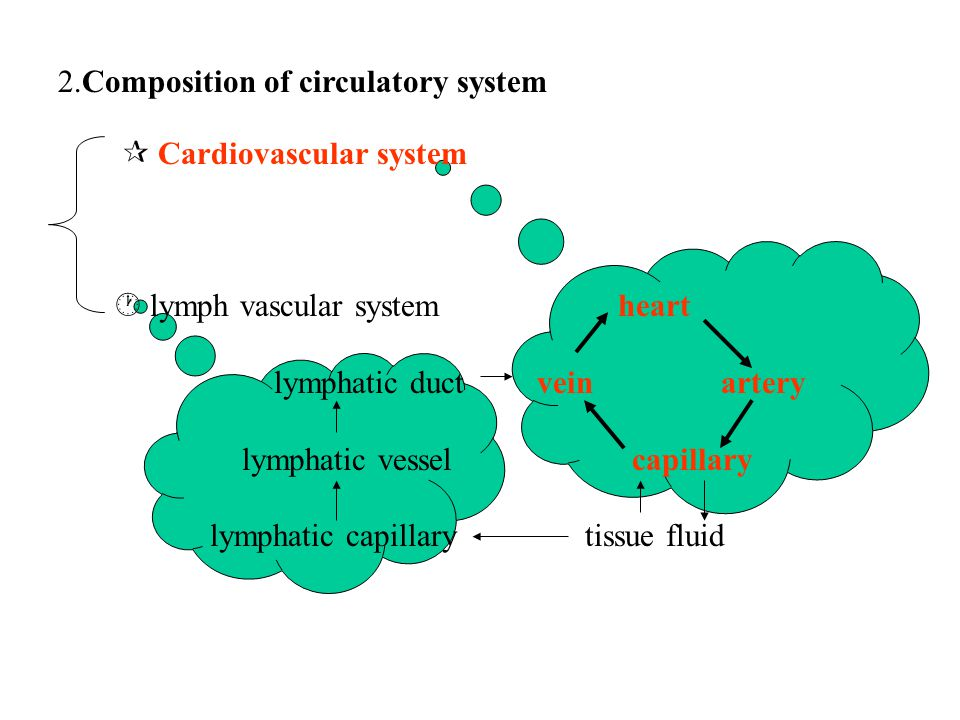 heart lymphatic duct vein artery lymphatic vessel capillary lymphatic capillary tissue fluid 2.Composition of circulatory system  Cardiovascular system  lymph vascular system
