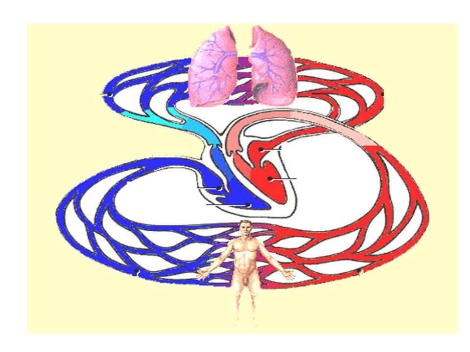 heart artery capillary vein