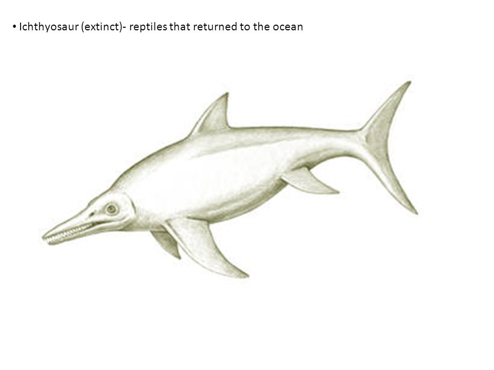 Ichthyosaur (extinct)- reptiles that returned to the ocean