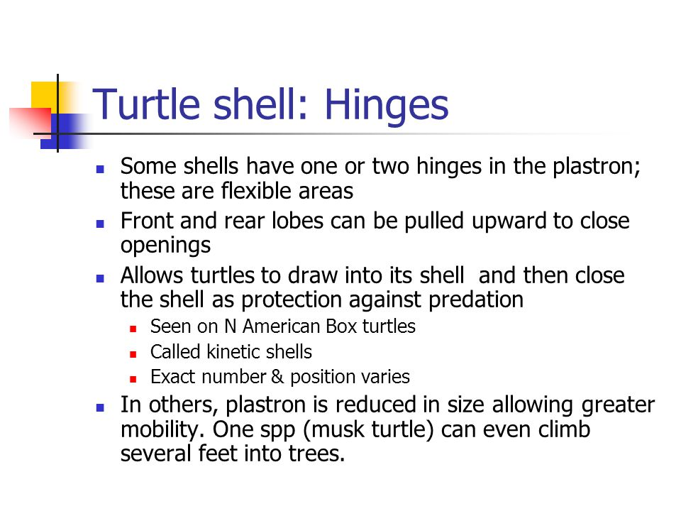 Turtle shell: Hinges Some shells have one or two hinges in the plastron; these are flexible areas Front and rear lobes can be pulled upward to close openings Allows turtles to draw into its shell and then close the shell as protection against predation Seen on N American Box turtles Called kinetic shells Exact number & position varies In others, plastron is reduced in size allowing greater mobility.