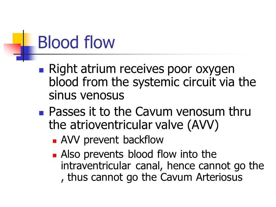 Blood flow Right atrium receives poor oxygen blood from the systemic circuit via the sinus venosus Passes it to the Cavum venosum thru the atrioventri
