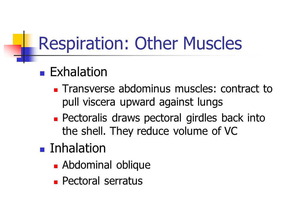 Respiration: Other Muscles Exhalation Transverse abdominus muscles: contract to pull viscera upward against lungs Pectoralis draws pectoral girdles back into the shell.