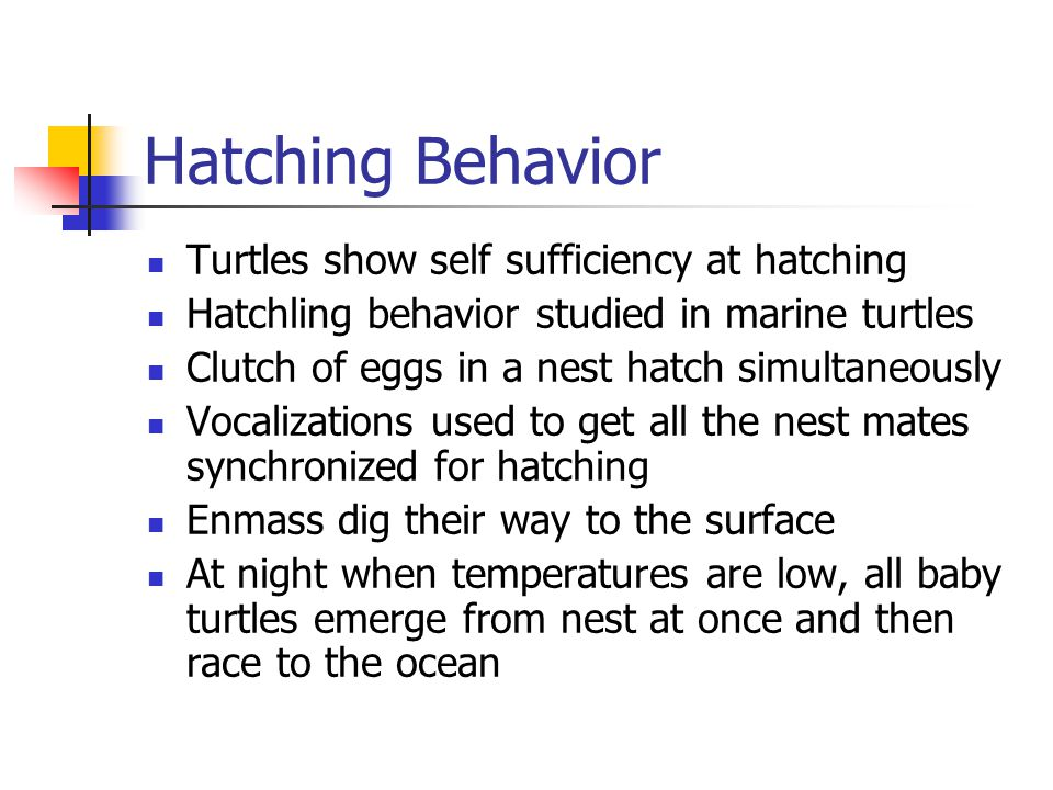 Hatching Behavior Turtles show self sufficiency at hatching Hatchling behavior studied in marine turtles Clutch of eggs in a nest hatch simultaneously Vocalizations used to get all the nest mates synchronized for hatching Enmass dig their way to the surface At night when temperatures are low, all baby turtles emerge from nest at once and then race to the ocean
