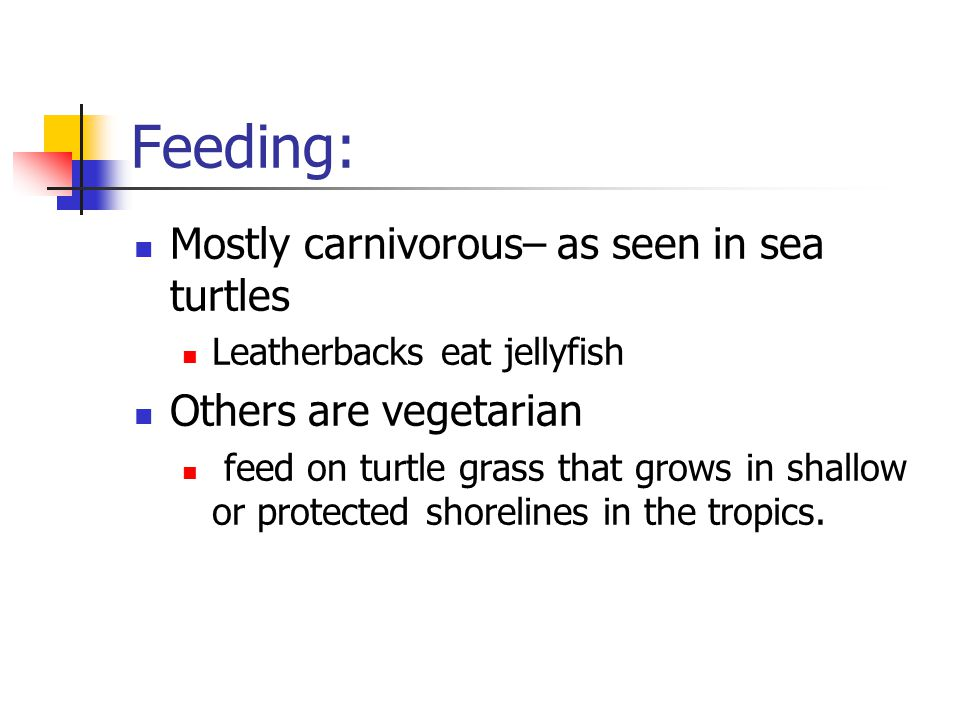 Feeding: Mostly carnivorous– as seen in sea turtles Leatherbacks eat jellyfish Others are vegetarian feed on turtle grass that grows in shallow or protected shorelines in the tropics.