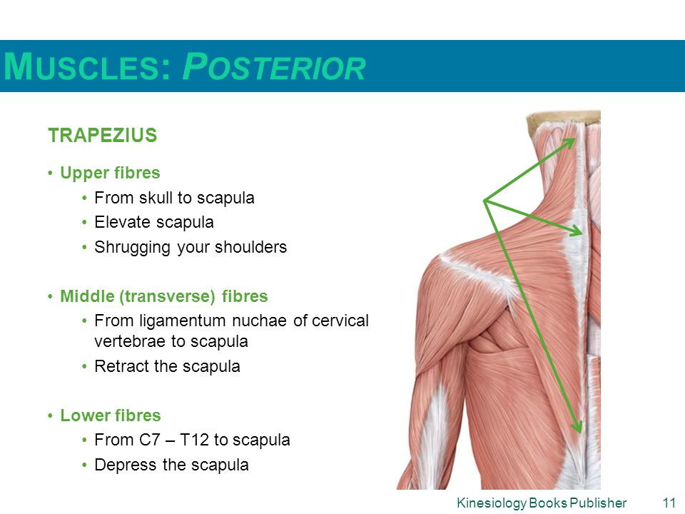 Kinesiology Books Publisher11 M USCLES : P OSTERIOR TRAPEZIUS Upper fibres From skull to scapula Elevate scapula Shrugging your shoulders Middle (transverse) fibres From ligamentum nuchae of cervical vertebrae to scapula Retract the scapula Lower fibres From C7 – T12 to scapula Depress the scapula