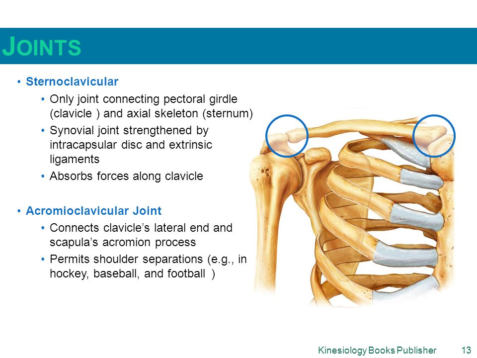 Kinesiology Books Publisher13 J OINTS Sternoclavicular Only joint connecting pectoral girdle (clavicle ) and axial skeleton (sternum) Synovial joint strengthened by intracapsular disc and extrinsic ligaments Absorbs forces along clavicle Acromioclavicular Joint Connects clavicle's lateral end and scapula's acromion process Permits shoulder separations (e.g., in hockey, baseball, and football )