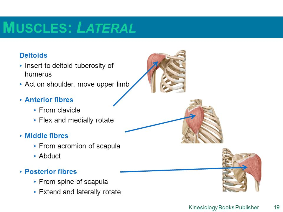 Kinesiology Books Publisher19 M USCLES : L ATERAL Deltoids Insert to deltoid tuberosity of humerus Act on shoulder, move upper limb Anterior fibres From clavicle Flex and medially rotate Middle fibres From acromion of scapula Abduct Posterior fibres From spine of scapula Extend and laterally rotate