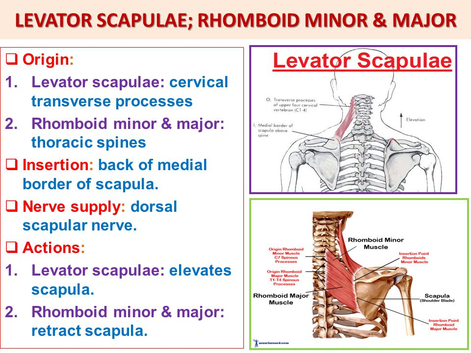 LEVATOR SCAPULAE; RHOMBOID MINOR & MAJOR  Origin: 1.Levator scapulae: cervical transverse processes 2.Rhomboid minor & major: thoracic spines  Insertion: back of medial border of scapula.