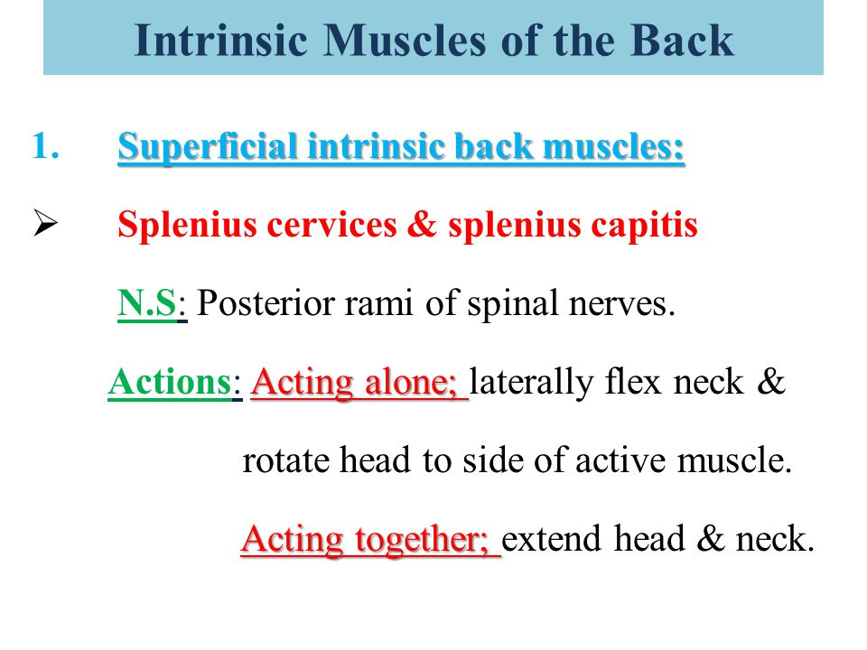 Intrinsic Muscles of the Back Superficial intrinsic back muscles: 1.Superficial intrinsic back muscles:  Splenius cervices & splenius capitis N.S: Po