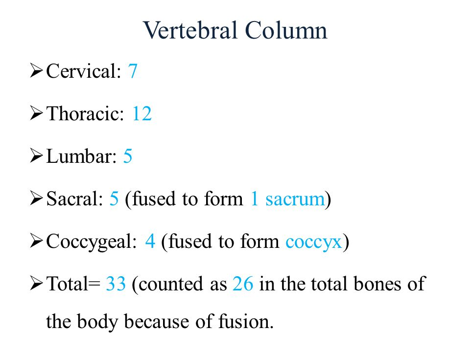 Vertebral Column  Cervical: 7  Thoracic: 12  Lumbar: 5  Sacral: 5 (fused to form 1 sacrum)  Coccygeal: 4 (fused to form coccyx)  Total= 33 (coun