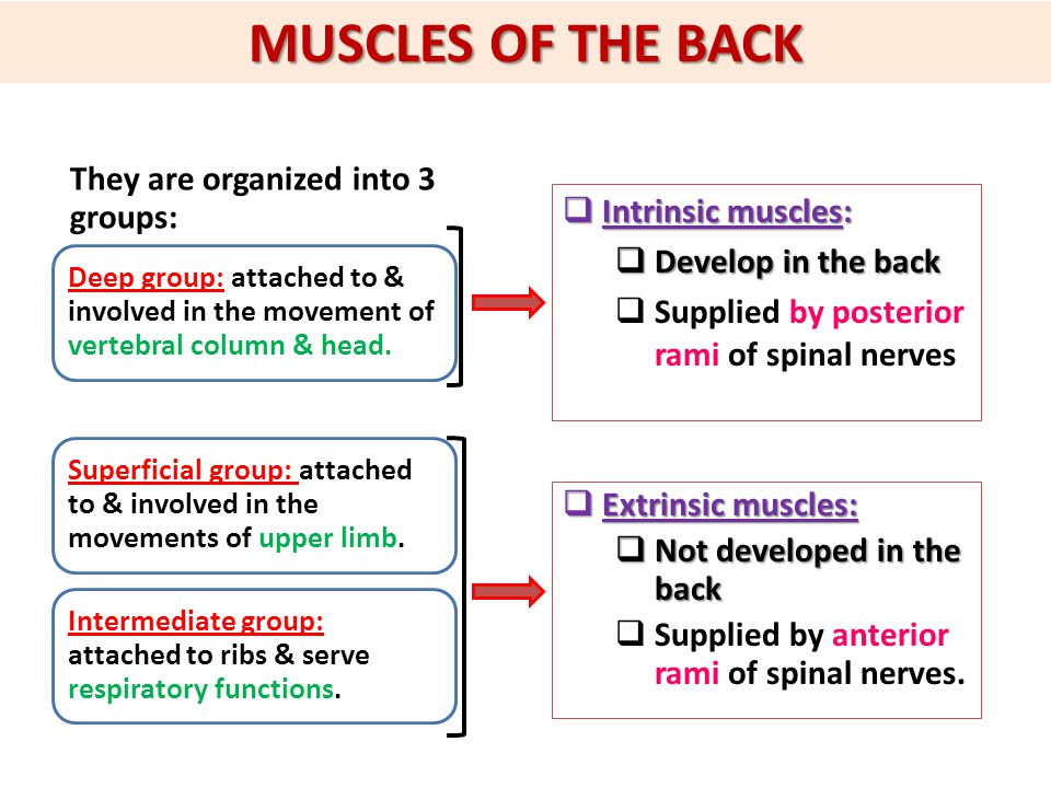 MUSCLES OF THE BACK They are organized into 3 groups: Deep group: attached to & involved in the movement of vertebral column & head.