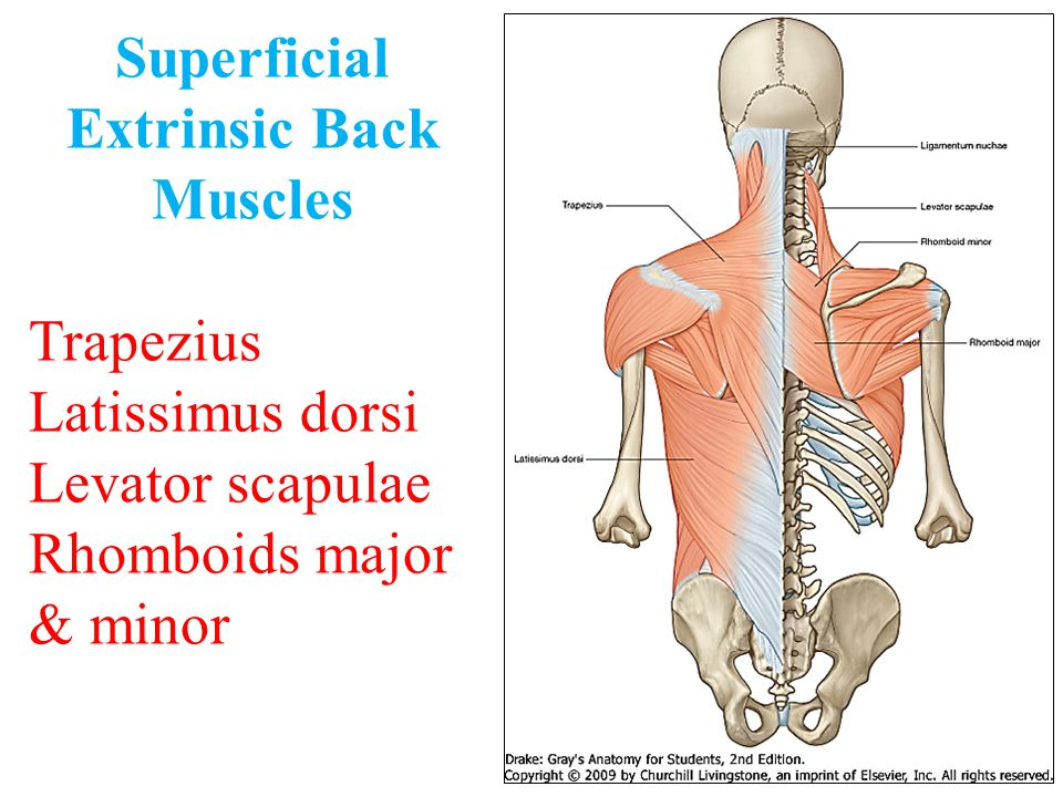 Superficial Extrinsic Back Muscles Trapezius Latissimus dorsi Levator scapulae Rhomboids major & minor