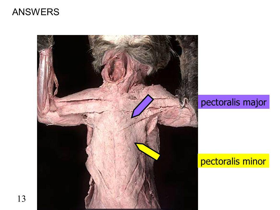 13 pectoralis minor ANSWERS pectoralis major