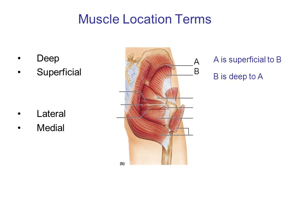 Muscle Location Terms Deep Superficial Lateral Medial A B B is deep to A A is superficial to B