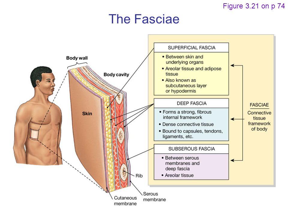 The Fasciae Figure 3.21 on p 74
