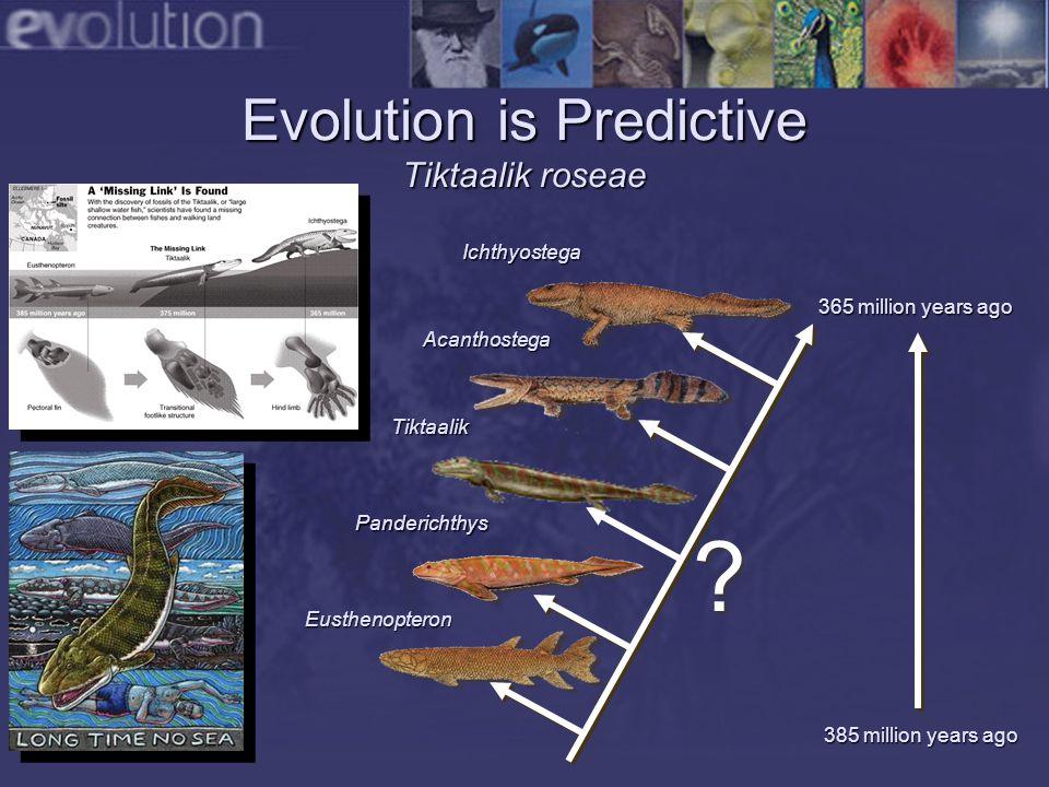 Evolution is Predictive Tiktaalik roseae Ichthyostega Eusthenopteron Panderichthys Acanthostega Tiktaalik 385 million years ago 365 million years ago .