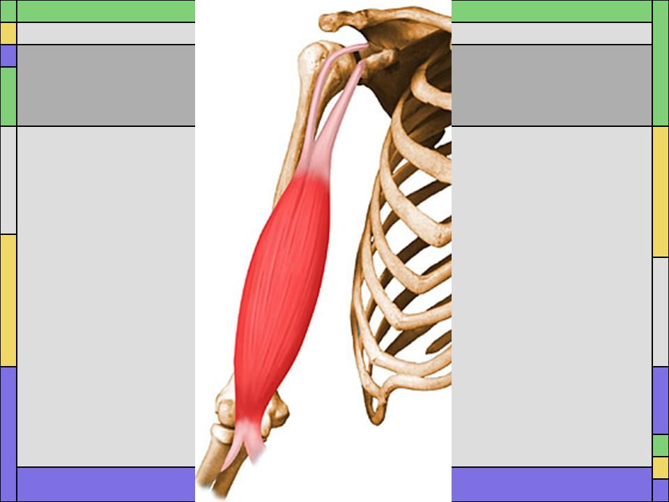 Origin Short head: coracoid process of scapula Long head: supraglenoid tubercle of scapula Insertion Tuberosity of radius Action Flexion of the elbow and shoulder, Supinates forearm ***the long head is the 5 th rotator cuff