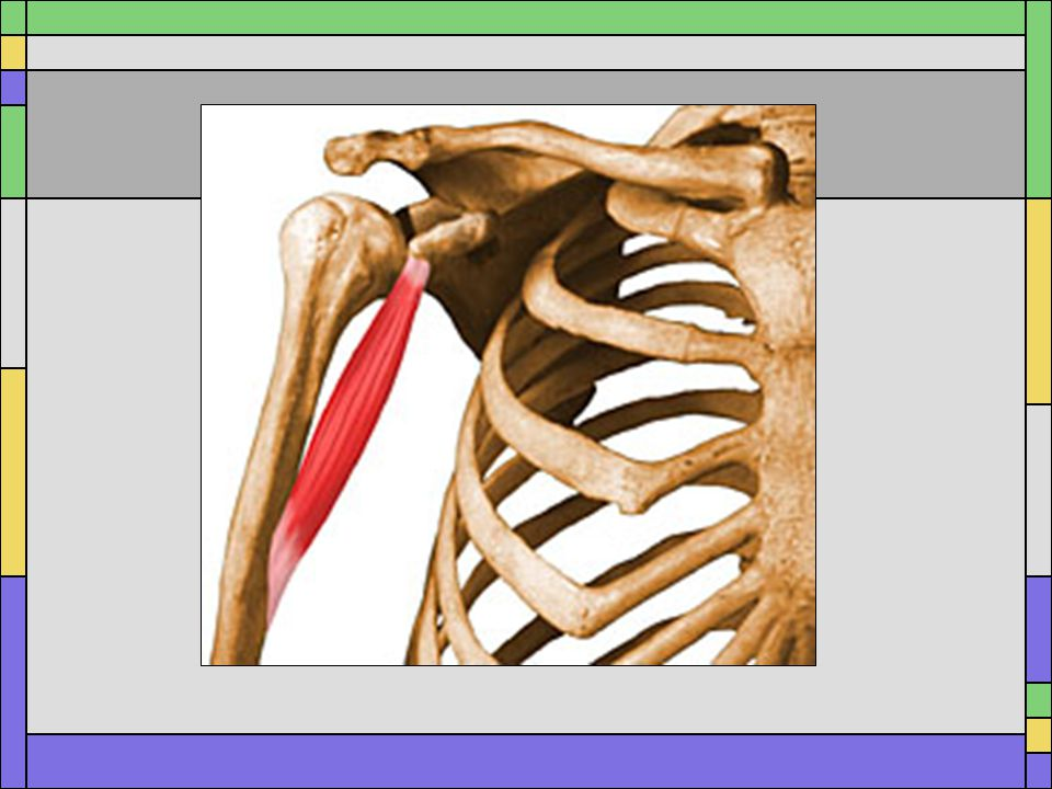 Name the muscle. Coracobrachialis Name the action Flexion and Adduction of the shoulder