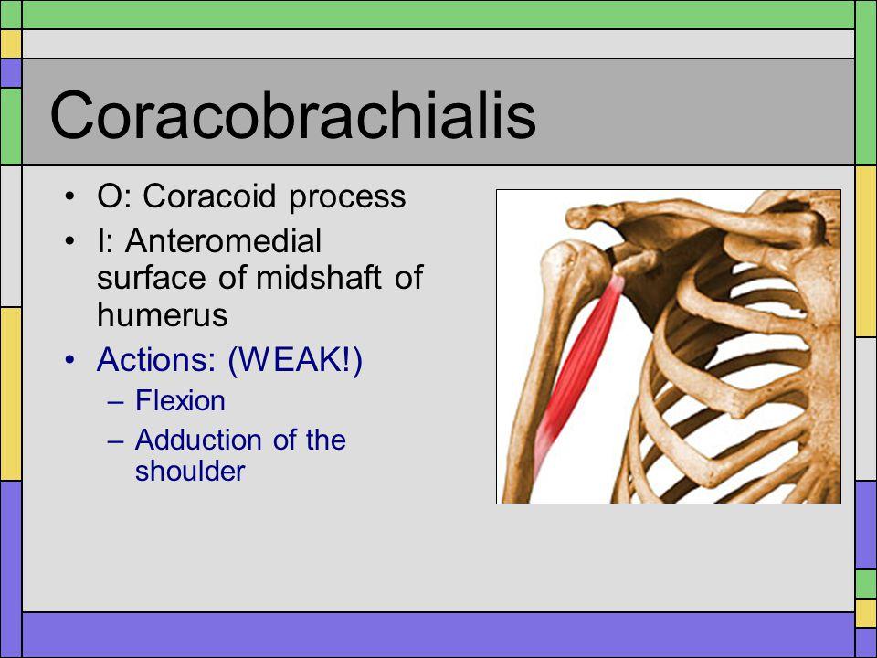 Posterior Shoulder Muscles Infraspinatus Teres Minor Triceps Brachii