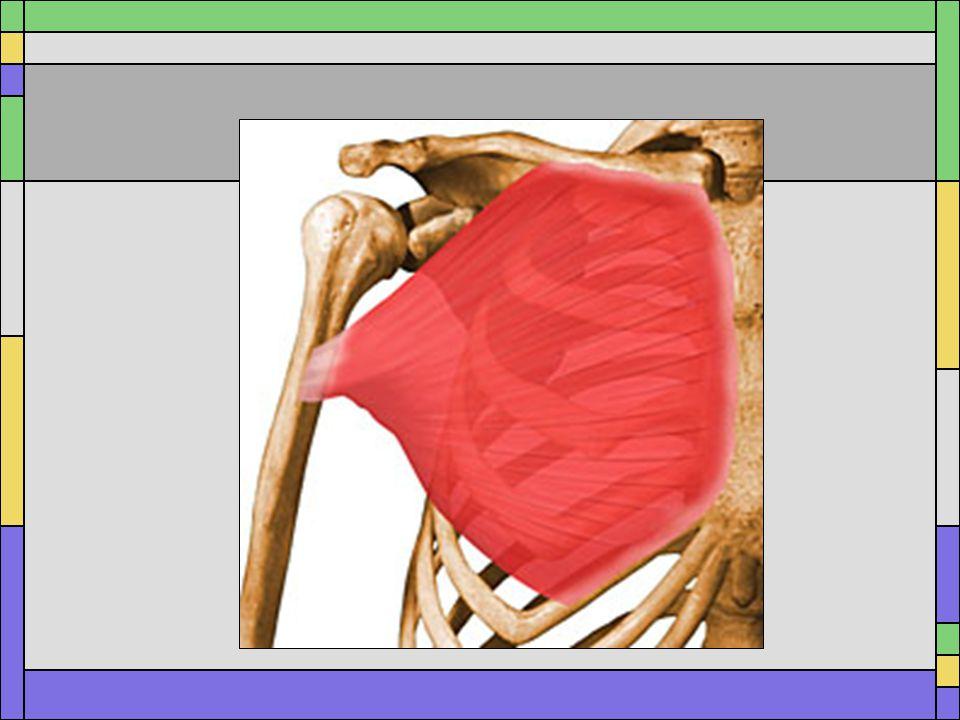 Pectoralis Major Origin: –Medial two-thirds of clavicle –Sternum Insertion: intertubercular groove Actions –Upper fibers (Clavicular) Flexion Horizontal Adduction –Lower fibers (Sternal) Internal/medial Rotation Horizontal adduction