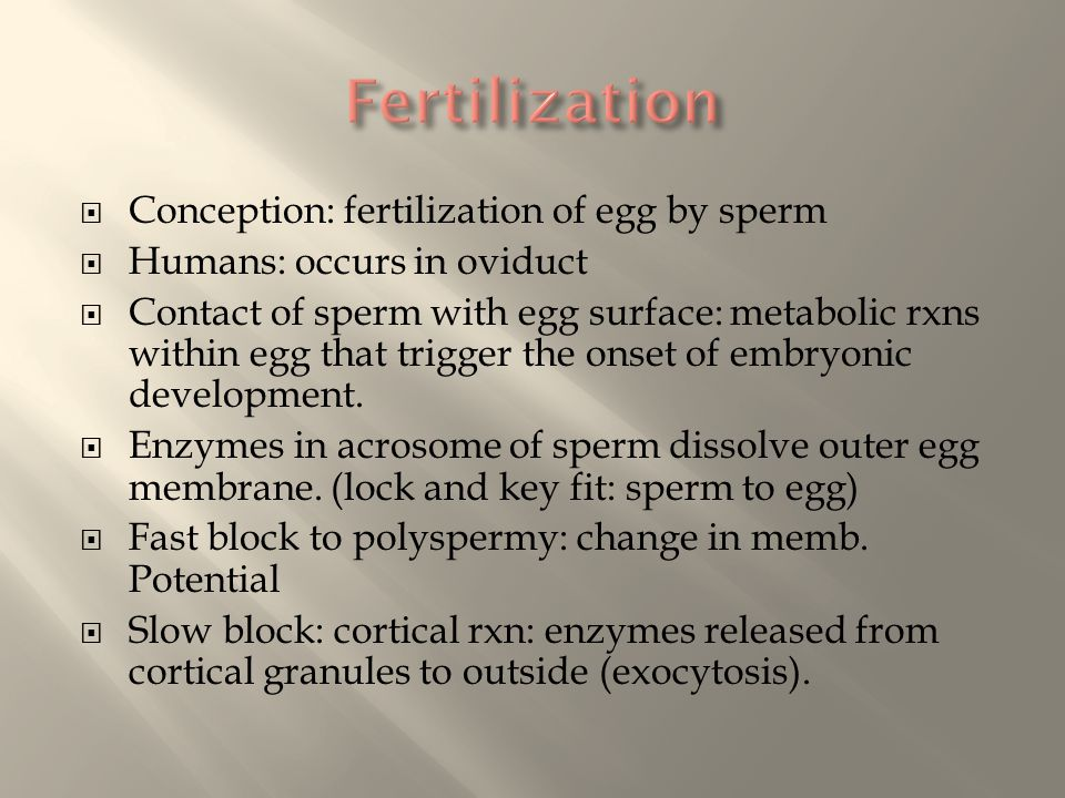  Conception: fertilization of egg by sperm  Humans: occurs in oviduct  Contact of sperm with egg surface: metabolic rxns within egg that trigger th