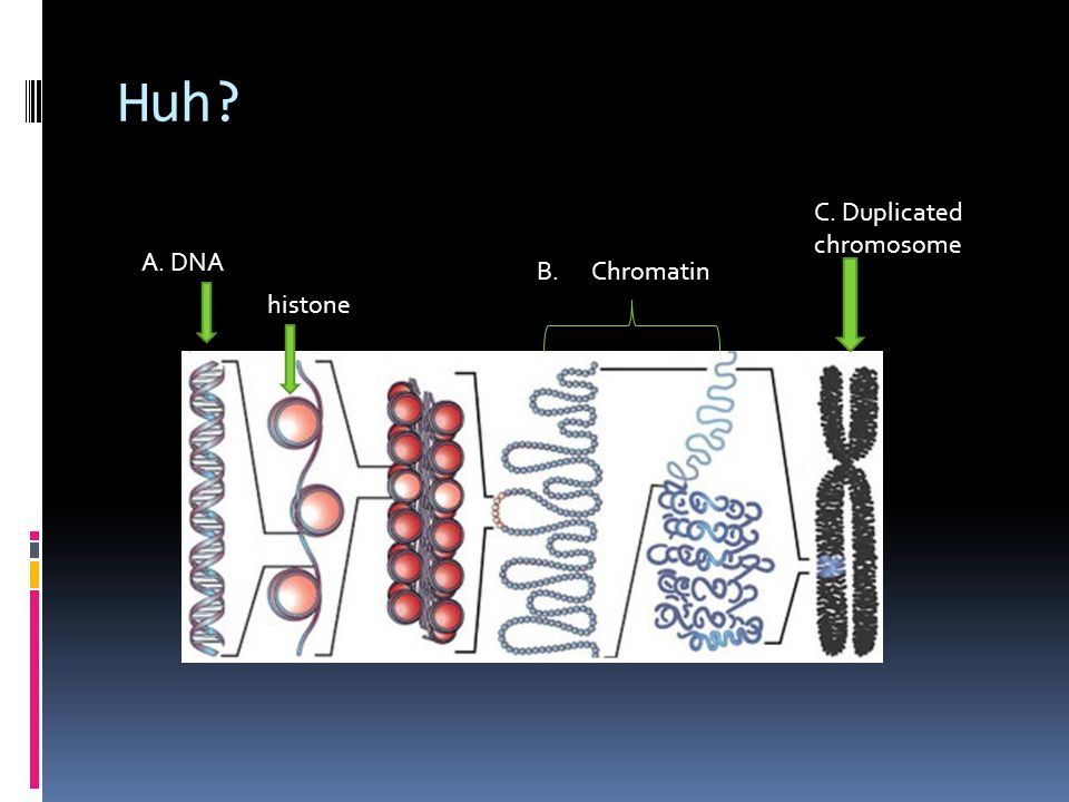 Huh? B. Chromatin A. DNA histone C. Duplicated chromosome