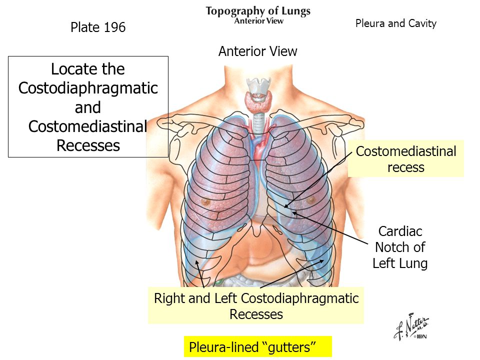 Locate the Costodiaphragmatic and Costomediastinal Recesses Pleura-lined gutters Plate 196 Right and Left Costodiaphragmatic Recesses Costomediastinal recess Cardiac Notch of Left Lung Pleura and Cavity Anterior View