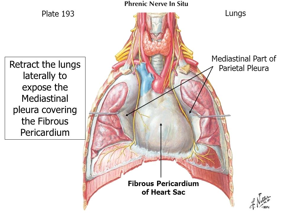 Retract the lungs laterally to expose the Mediastinal pleura covering the Fibrous Pericardium Plate 193 Mediastinal Part of Parietal Pleura Fibrous Pericardium of Heart Sac Lungs