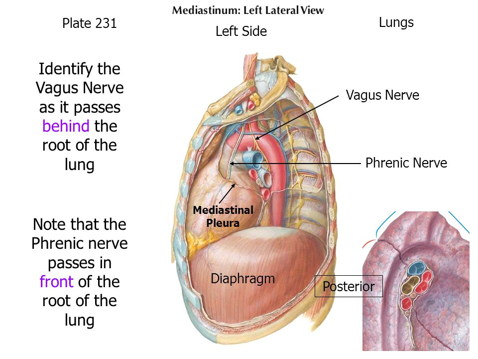 Identify the Vagus Nerve as it passes behind the root of the lung Note that the Phrenic nerve passes in front of the root of the lung Plate 231 Lungs Vagus Nerve Phrenic Nerve Diaphragm Posterior Left Side Mediastinal Pleura