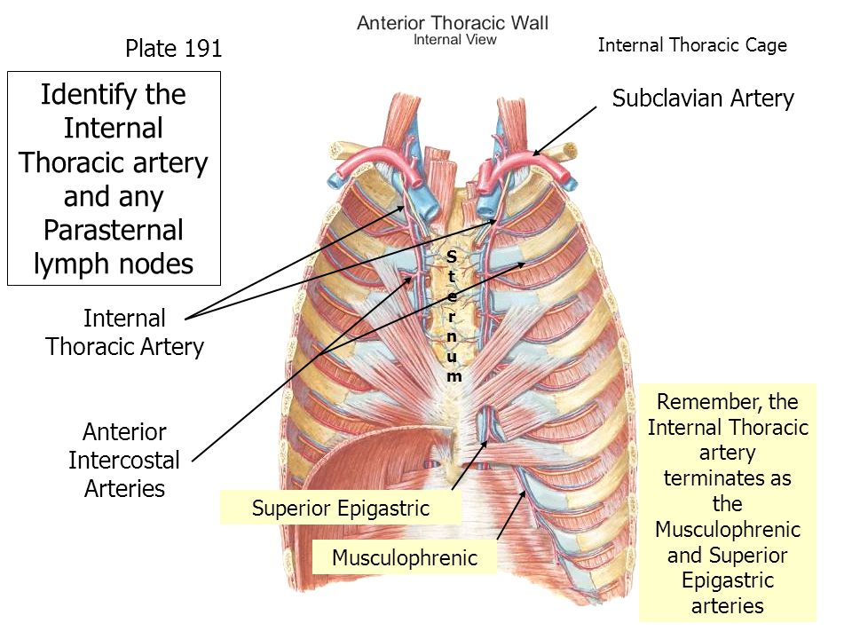 Remember, the Internal Thoracic artery terminates as the Musculophrenic and Superior Epigastric arteries Superior Epigastric Musculophrenic Internal Thoracic Artery Anterior Intercostal Arteries SternumSternum Identify the Internal Thoracic artery and any Parasternal lymph nodes Plate 191 Internal Thoracic Cage Subclavian Artery