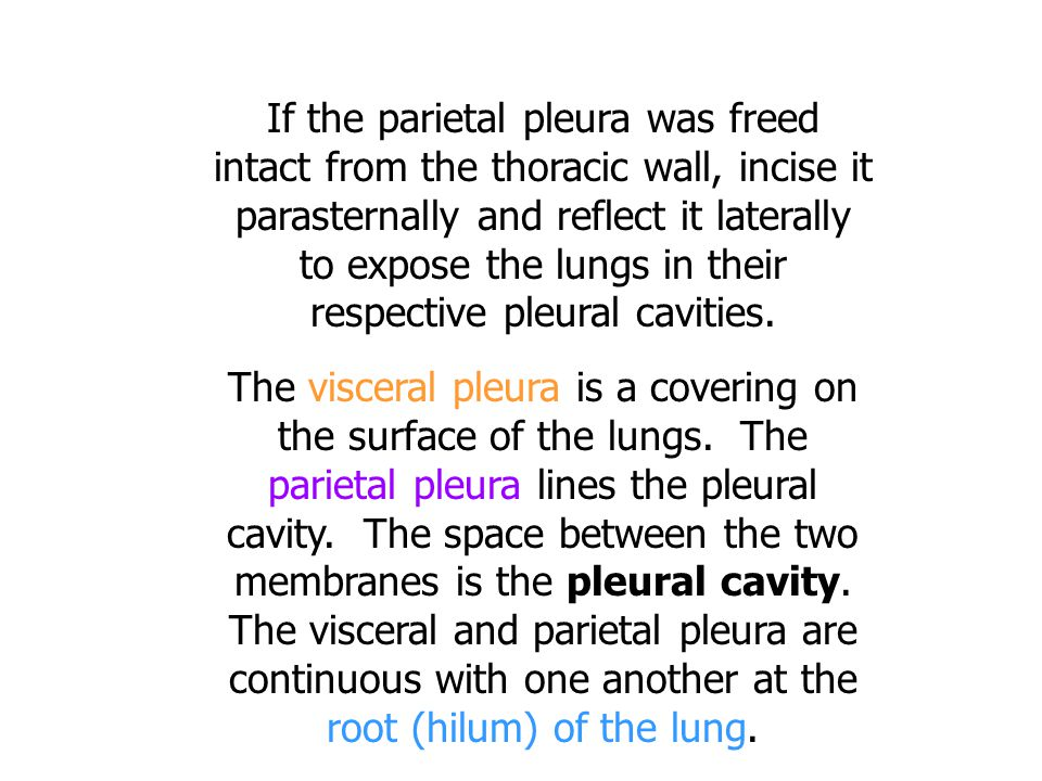 If the parietal pleura was freed intact from the thoracic wall, incise it parasternally and reflect it laterally to expose the lungs in their respective pleural cavities.