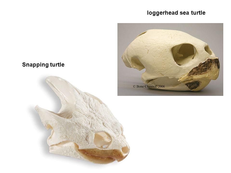 Snapping turtle loggerhead sea turtle
