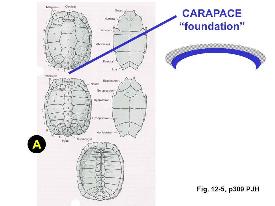 Fig. 12-5, p309 PJH A CARAPACE foundation