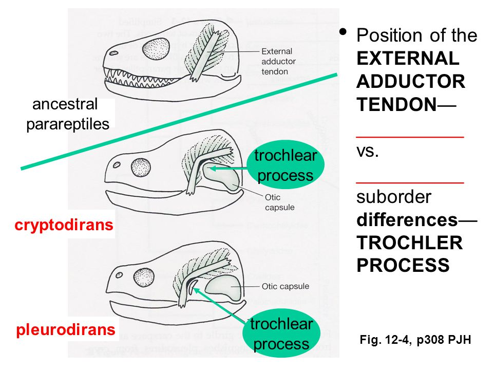 Fig. 12-4, p308 PJH Position of the EXTERNAL ADDUCTOR TENDON— __________ vs.