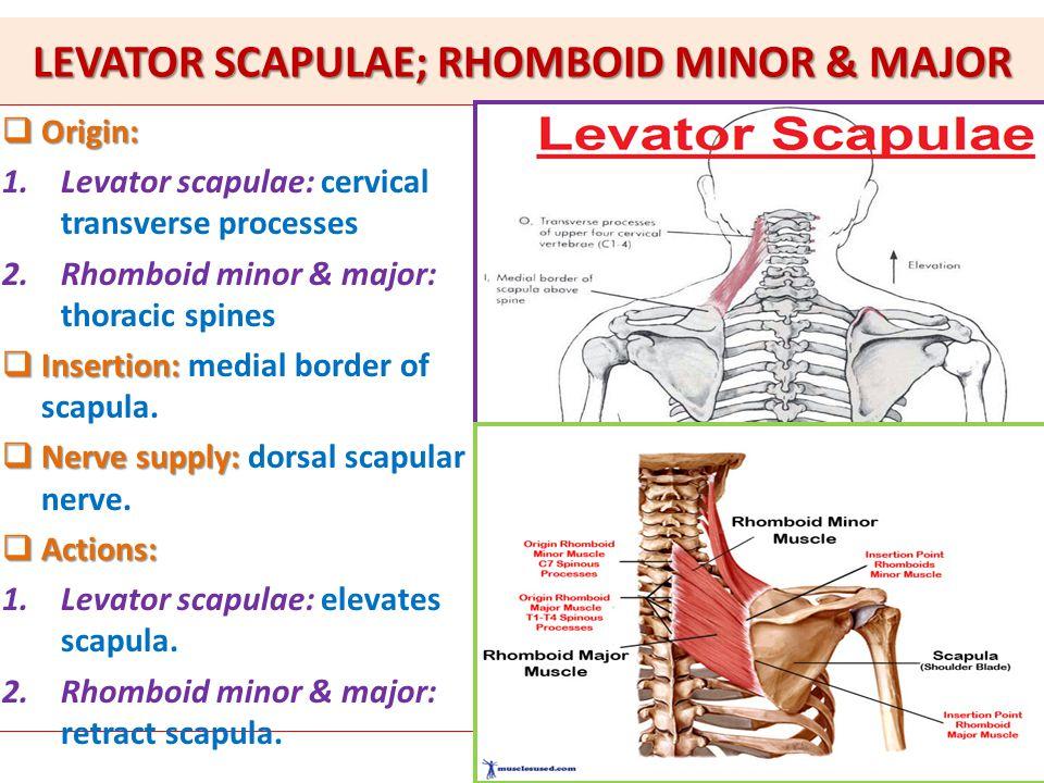 LEVATOR SCAPULAE; RHOMBOID MINOR & MAJOR  Origin: 1.Levator scapulae: cervical transverse processes 2.Rhomboid minor & major: thoracic spines  Inser