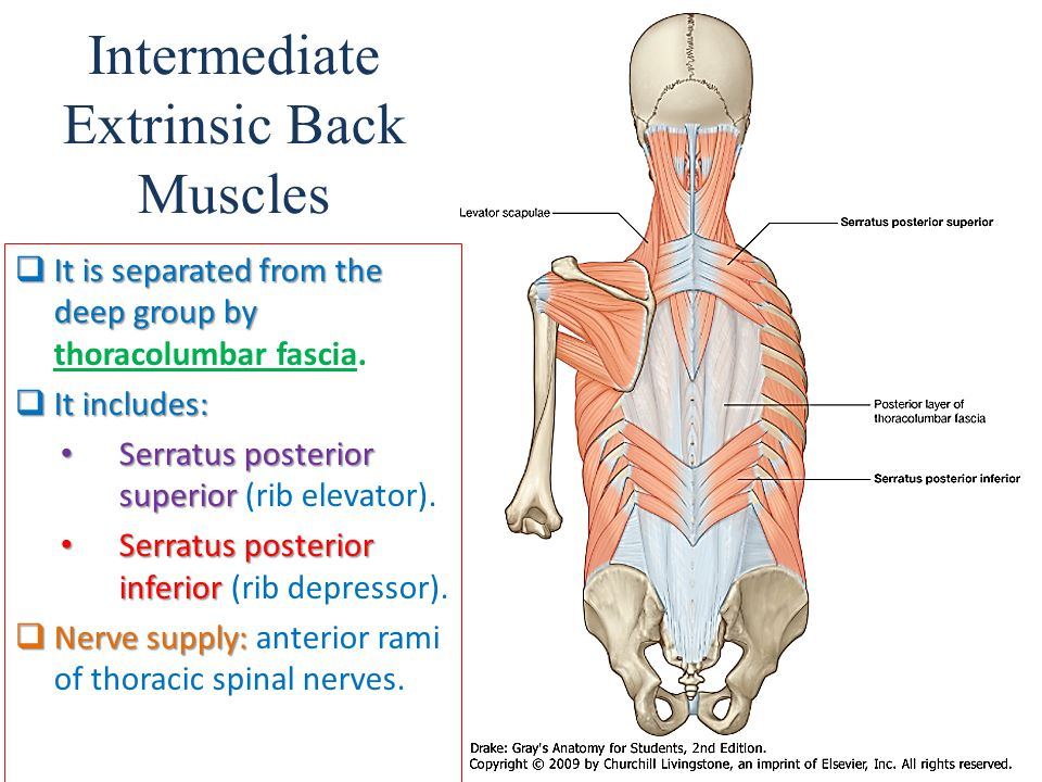 Intermediate Extrinsic Back Muscles  It is separated from the deep group by  It is separated from the deep group by thoracolumbar fascia.  It inclu