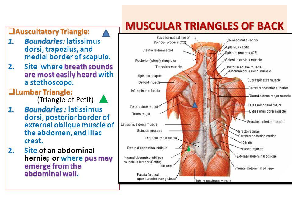 MUSCULAR TRIANGLES OF BACK  Auscultatory Triangle: 1.Boundaries: 1.Boundaries: latissimus dorsi, trapezius, and medial border of scapula. breath soun